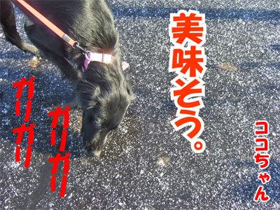 チャンスとティアラ+ココ-20101118-7-400.jpg