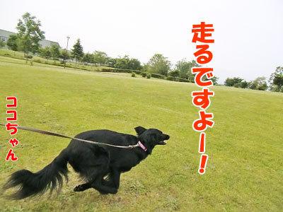 チャンスとティアラ+ココ-20120617-4-400.jpg
