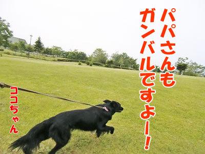 チャンスとティアラ+ココ-20120617-5-400.jpg