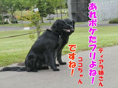 チャンスとティアラ+ココ-20120617-7-400.jpg