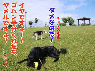 チャンスとティアラ+ココ-20120619-8-400.jpg