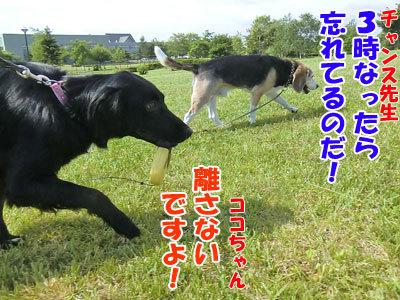 チャンスとティアラ+ココ-20120619-10-400.jpg