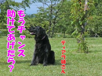 チャンスとティアラ+ココ-20120619-11-400.jpg