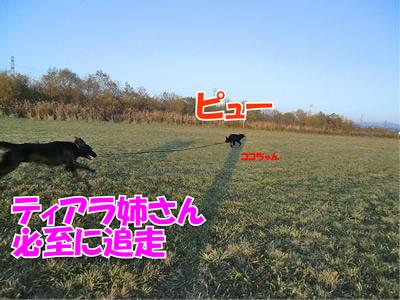 チャンスとティアラ+ココ-20111105-3.jpg