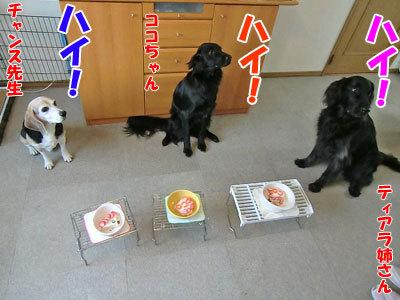チャンスとティアラ+ココ-20120621-1-400.jpg