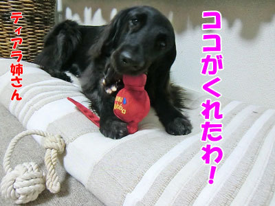 チャンスとティアラ+ココ-20120621-4-400.jpg