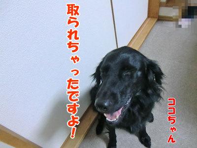 チャンスとティアラ+ココ-20120621-5-400.jpg