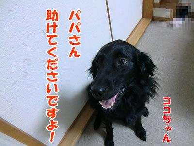 チャンスとティアラ+ココ-20120621-6-400.jpg