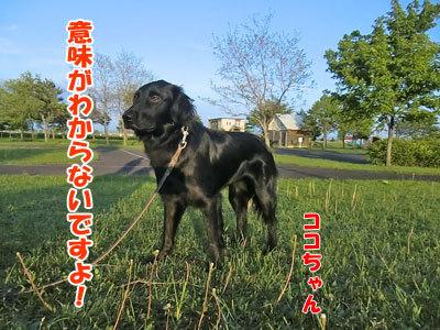 チャンスとティアラ+ココ-20120622-3-400.jpg