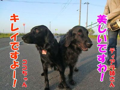 チャンスとティアラ+ココ-20120622-7-400.jpg