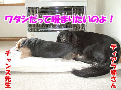 チャンスとティアラ+ココ-20101125-5-400.jpg
