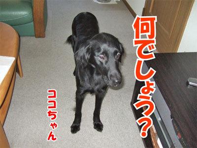 チャンスとティアラ+ココ-20101125-7-400.jpg