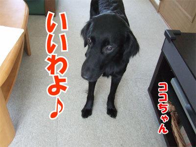 チャンスとティアラ+ココ-20101125-8-400.jpg