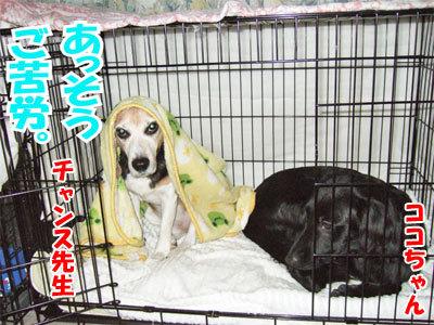 チャンスとティアラ+ココ-20101125-9-400.jpg