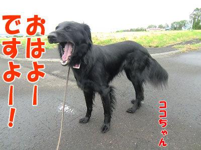 チャンスとティアラ+ココ-20120625-3-400.jpg