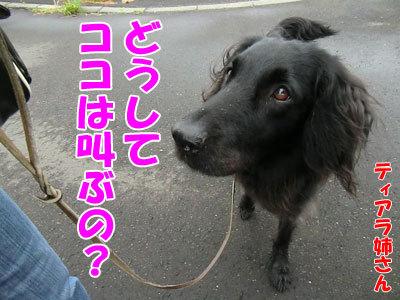 チャンスとティアラ+ココ-20120625-4-400.jpg