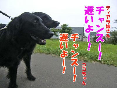 チャンスとティアラ+ココ-20120625-7-400.jpg