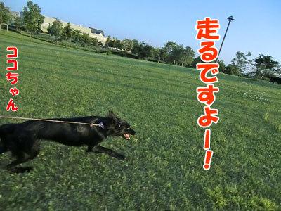 チャンスとティアラ+ココ-20120626-7-400.jpg