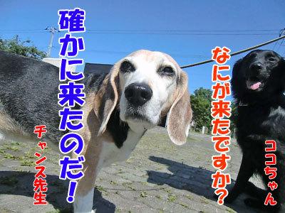 チャンスとティアラ+ココ-20120627-2-400.jpg
