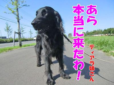 チャンスとティアラ+ココ-20120627-3-400.jpg