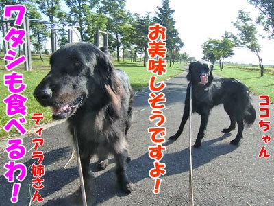 チャンスとティアラ+ココ-20120628-3-400.jpg