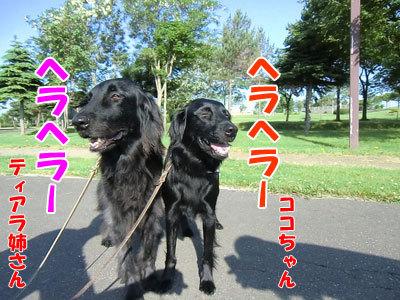 チャンスとティアラ+ココ-20120628-6-400.jpg