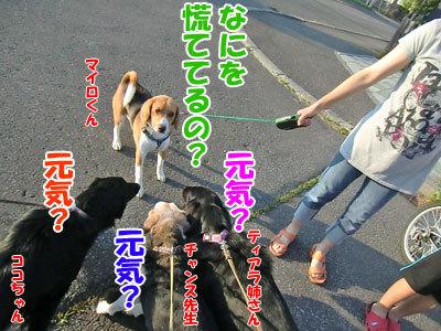 チャンスとティアラ+ココ-20120630-1-400.jpg