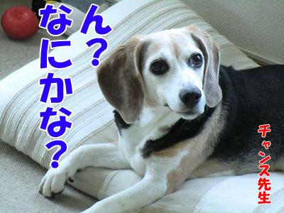 チャンスとティアラ+ココ-20120724-1-400.jpg