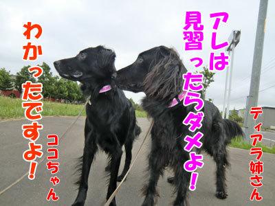 チャンスとティアラ+ココ-20120724-8-400.jpg