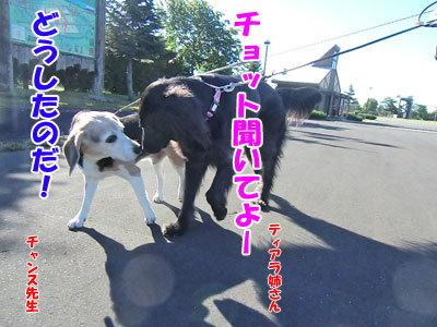 チャンスとティアラ+ココ-20120725-5-400.jpg