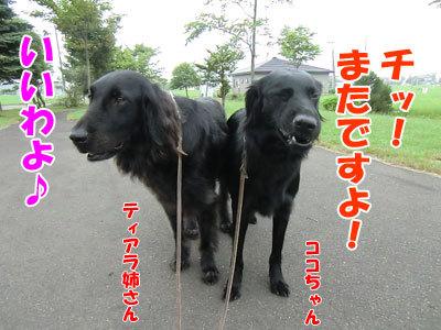 チャンスとティアラ+ココ-20120727-1-400.jpg