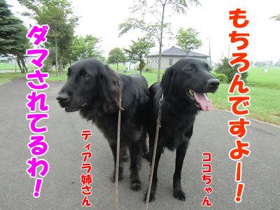 チャンスとティアラ+ココ-20120727-3-400.jpg