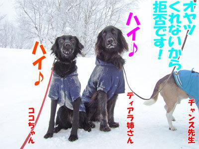 チャンスとティアラ+ココ-20110114-4-400.jpg