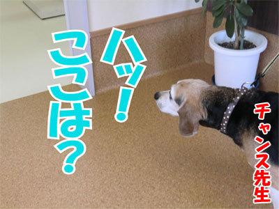 チャンスとティアラ+ココ-20110120-6-400.jpg