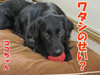 チャンスとティアラ+ココ-20110120-12-400.jpg