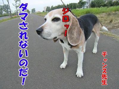 チャンスとティアラ+ココ-20120731-4-400.jpg
