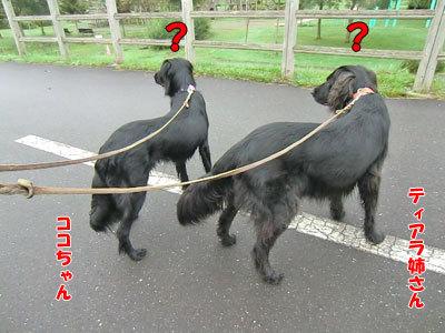 チャンスとティアラ+ココ-20120818-3-400.jpg