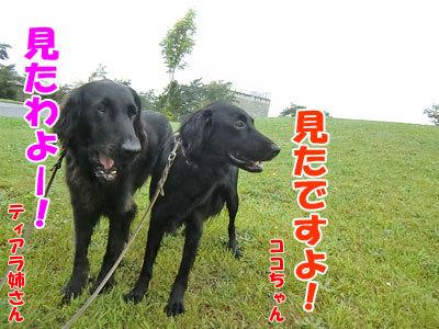 チャンスとティアラ+ココ-20120818-4-400.jpg