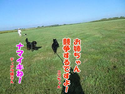 チャンスとティアラ+ココ-20120823-4-400.jpg