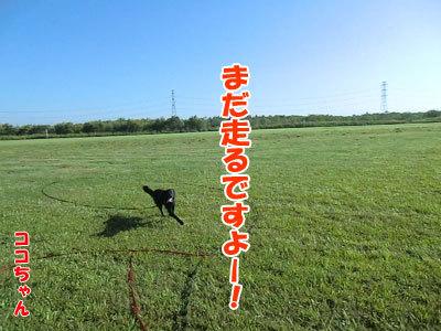 チャンスとティアラ+ココ-20120824-2-400.jpg