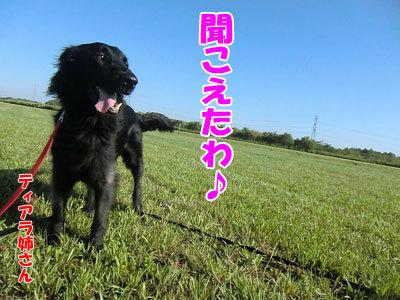 チャンスとティアラ+ココ-20120824-7-400.jpg