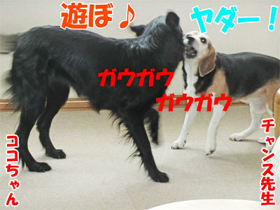 チャンスとティアラ+ココ-20110304-1-400.jpg