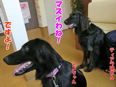 チャンスとティアラ+ココ-20120827-4-400.jpg