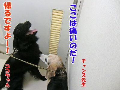 チャンスとティアラ+ココ-20120827-5-400.jpg