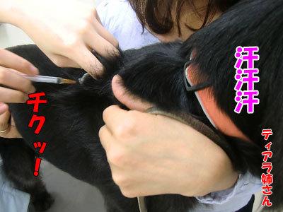 チャンスとティアラ+ココ-20120827-7-400.jpg