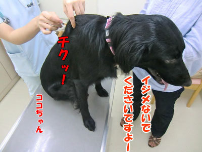 チャンスとティアラ+ココ-20120827-11-400.jpg