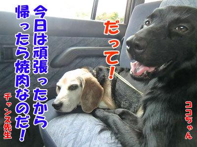 チャンスとティアラ+ココ-20120827-16-400.jpg