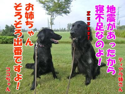 チャンスとティアラ+ココ-20120828-1-400.jpg