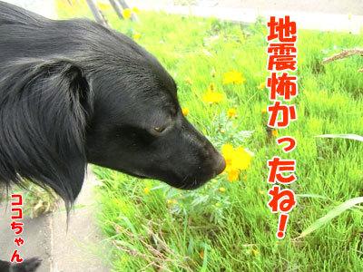 チャンスとティアラ+ココ-20120828-3-400.jpg