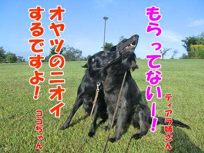チャンスとティアラ+ココ-20120829-3-400.jpg